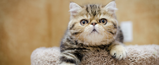 Camden Exotic Shorthairs - Camden Exotic Shorthairs Home