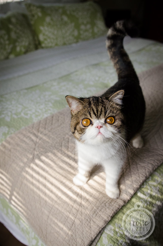 About Us At Camden Shorthair Cattery Camden Exotic Shorthairs